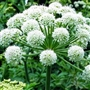 Angelica Root Essential Oil - Huile essentielle de racine Angelica