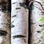 Birch Sweet Essential Oil - Huile essentielle douce de bouleau