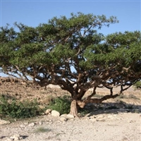 Frankincense Essential Oil (Carterii) - Huile essentielle d'encens