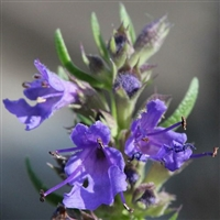 Hyssop Essential Oil - Huile essentielle d'hysope