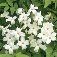 Jasmine Absolute (grandiflorum) - Absolu de jasmin