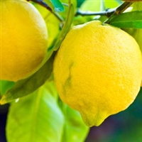 Lemon Essential Oil - Huile essentielle de citron