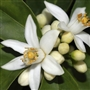 Neroli (Orange Blossom) Essential Oil - Huile essentielle de néroli (oranger)
