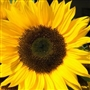 Sunflower Carrier Oil - Huile de tournesol